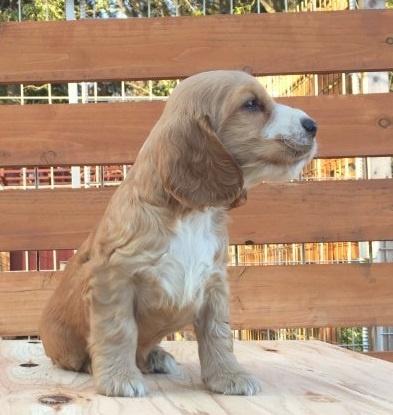 イングリッシュコッカースパニエルの子犬(ID:1253811212)の2枚目の写真/更新日:2018-03-16
