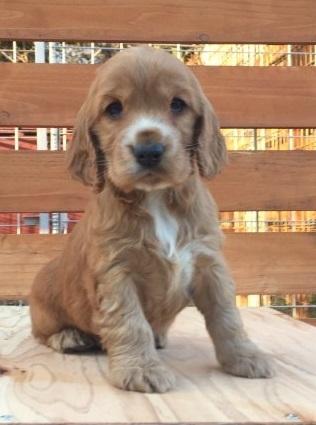イングリッシュコッカースパニエルの子犬(ID:1253811213)の1枚目の写真/更新日:2018-03-16