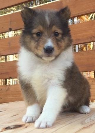 シェットランドシープドッグの子犬(ID:1253811214)の1枚目の写真/更新日:2018-03-16
