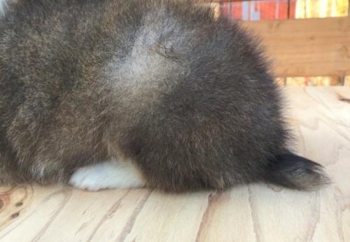 シェットランドシープドッグの子犬(ID:1253811214)の3枚目の写真/更新日:2018-03-16
