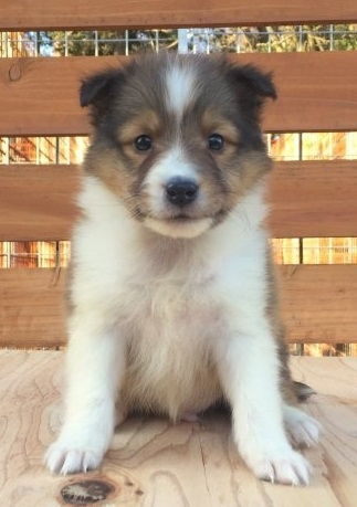 シェットランドシープドッグの子犬(ID:1253811215)の1枚目の写真/更新日:2018-03-16
