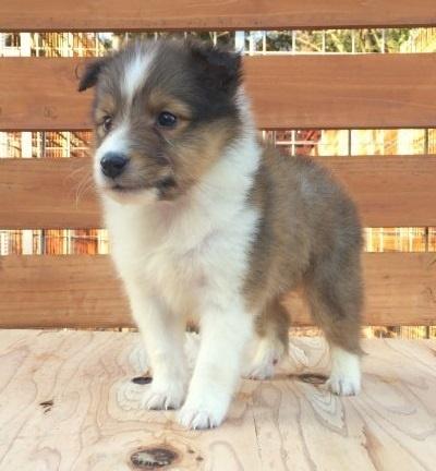 シェットランドシープドッグの子犬(ID:1253811215)の2枚目の写真/更新日:2018-03-16
