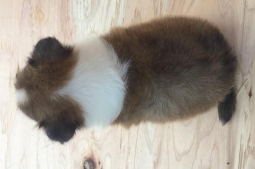 シェットランドシープドッグの子犬(ID:1253811215)の3枚目の写真/更新日:2018-03-16
