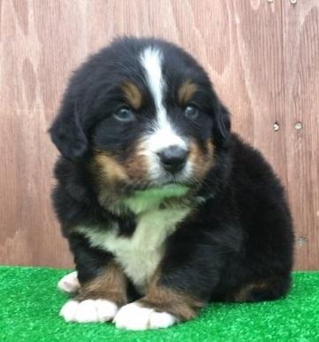 バーニーズ・マウンテン・ドッグの子犬(ID:1253811217)の1枚目の写真/更新日:2018-03-23
