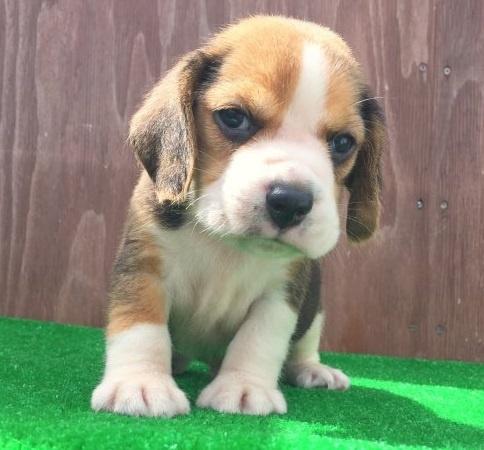 ビーグルの子犬(ID:1253811218)の1枚目の写真/更新日:2018-03-27