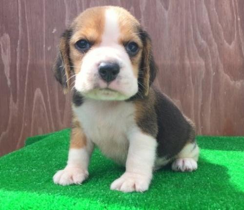 ビーグルの子犬(ID:1253811218)の2枚目の写真/更新日:2018-03-27