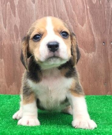 ビーグルの子犬(ID:1253811219)の1枚目の写真/更新日:2018-03-27