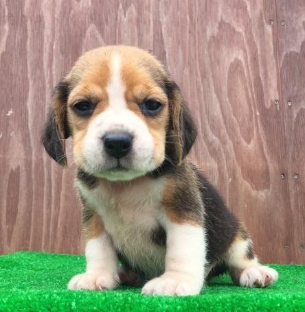 ビーグルの子犬(ID:1253811219)の2枚目の写真/更新日:2018-03-27