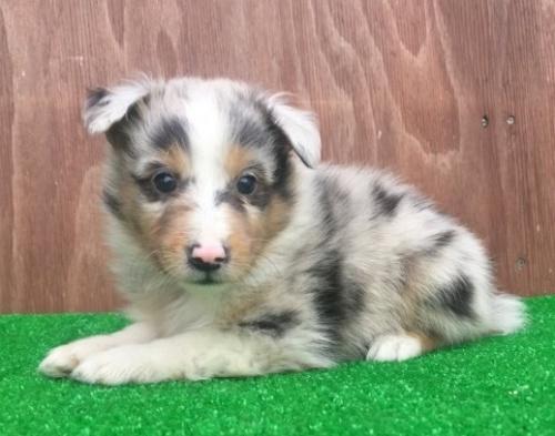 シェットランドシープドッグの子犬(ID:1253811220)の2枚目の写真/更新日:2018-03-27
