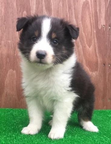 シェットランドシープドッグの子犬(ID:1253811221)の1枚目の写真/更新日:2018-03-27