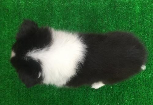 シェットランドシープドッグの子犬(ID:1253811221)の2枚目の写真/更新日:2018-03-27