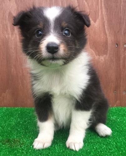 シェットランドシープドッグの子犬(ID:1253811222)の1枚目の写真/更新日:2018-03-27