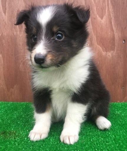 シェットランドシープドッグの子犬(ID:1253811222)の2枚目の写真/更新日:2018-03-27