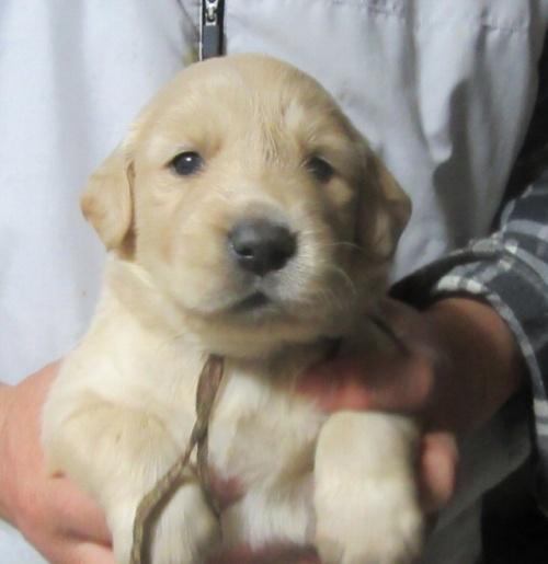 ゴールデンレトリバーの子犬(ID:1253911025)の1枚目の写真/更新日:2017-03-03