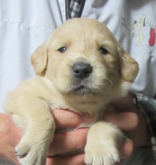 ゴールデンレトリバーの子犬(ID:1253911025)の2枚目の写真/更新日:2017-03-03