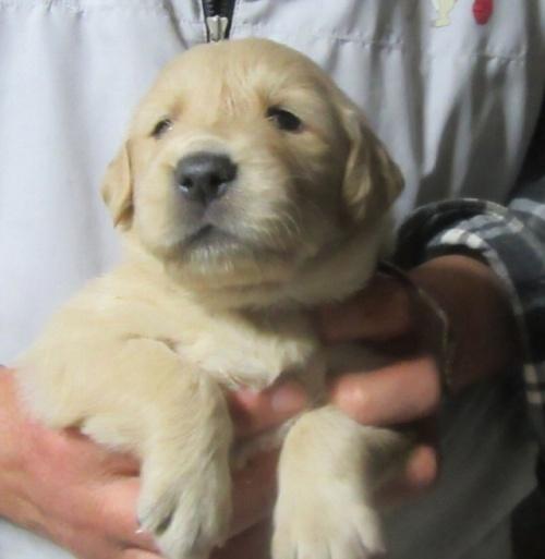 ゴールデンレトリバーの子犬(ID:1253911025)の3枚目の写真/更新日:2017-03-03