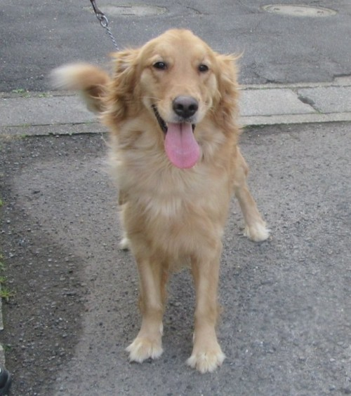 ゴールデンレトリバーの子犬(ID:1253911025)の4枚目の写真/更新日:2017-03-03