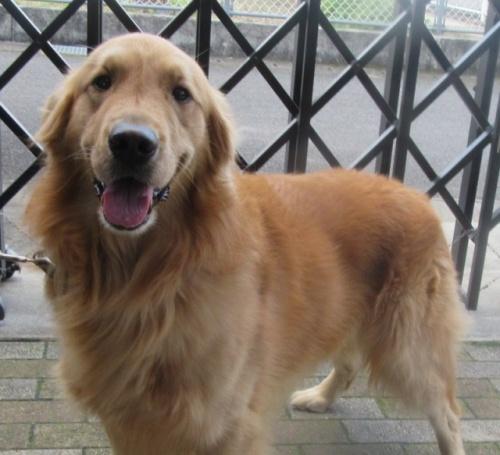 ゴールデンレトリバーの子犬(ID:1253911025)の5枚目の写真/更新日:2017-03-03