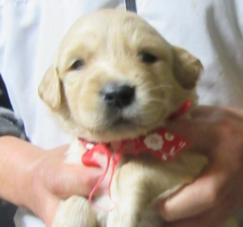 ゴールデンレトリバーの子犬(ID:1253911026)の1枚目の写真/更新日:2017-03-03