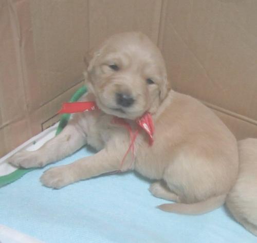 ゴールデンレトリバーの子犬(ID:1253911026)の3枚目の写真/更新日:2017-03-03