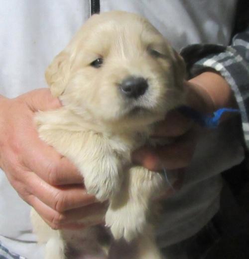 ゴールデンレトリバーの子犬(ID:1253911027)の1枚目の写真/更新日:2017-03-03
