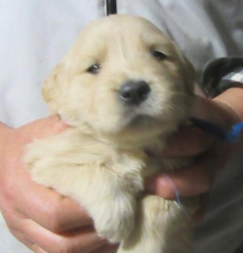 ゴールデンレトリバーの子犬(ID:1253911027)の2枚目の写真/更新日:2017-03-03