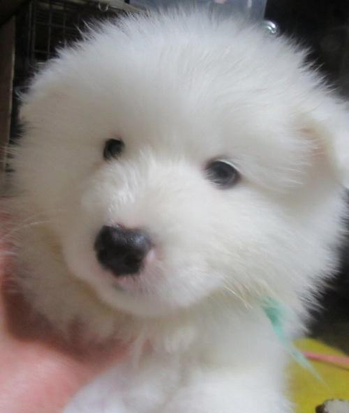 サモエドの子犬(ID:1253911030)の1枚目の写真/更新日:2017-04-20