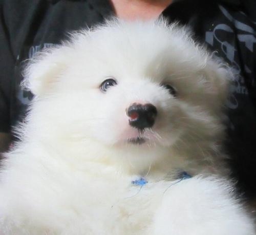 サモエドの子犬(ID:1253911033)の1枚目の写真/更新日:2017-04-20