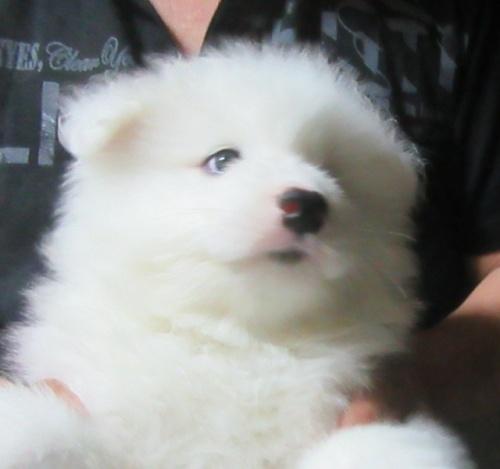 サモエドの子犬(ID:1253911033)の3枚目の写真/更新日:2017-04-09