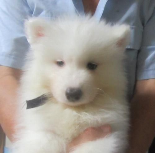 サモエドの子犬(ID:1253911035)の1枚目の写真/更新日:2017-09-21