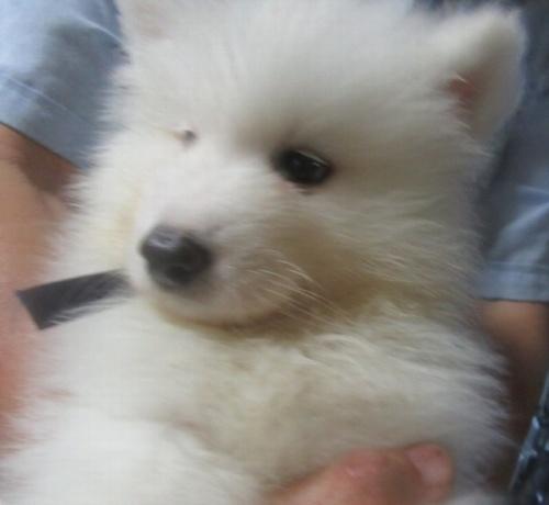 サモエドの子犬(ID:1253911035)の2枚目の写真/更新日:2017-09-21