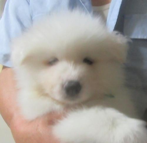 サモエドの子犬(ID:1253911036)の1枚目の写真/更新日:2017-09-21