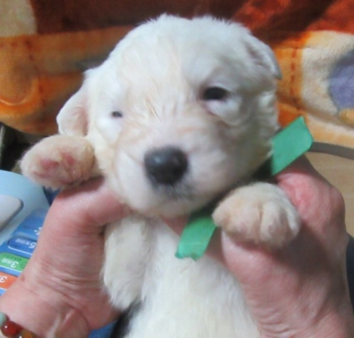 オールドイングリッシュシープドッグの子犬(ID:1253911037)の1枚目の写真/更新日:2017-08-30