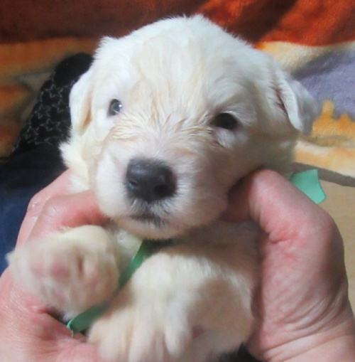 オールドイングリッシュシープドッグの子犬(ID:1253911037)の2枚目の写真/更新日:2017-08-30