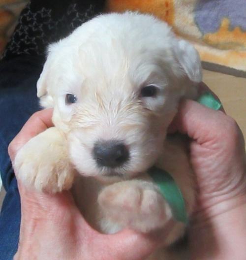 オールドイングリッシュシープドッグの子犬(ID:1253911037)の3枚目の写真/更新日:2017-08-30