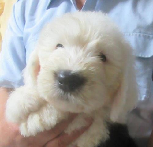 オールドイングリッシュシープドッグの子犬(ID:1253911038)の1枚目の写真/更新日:2017-09-21