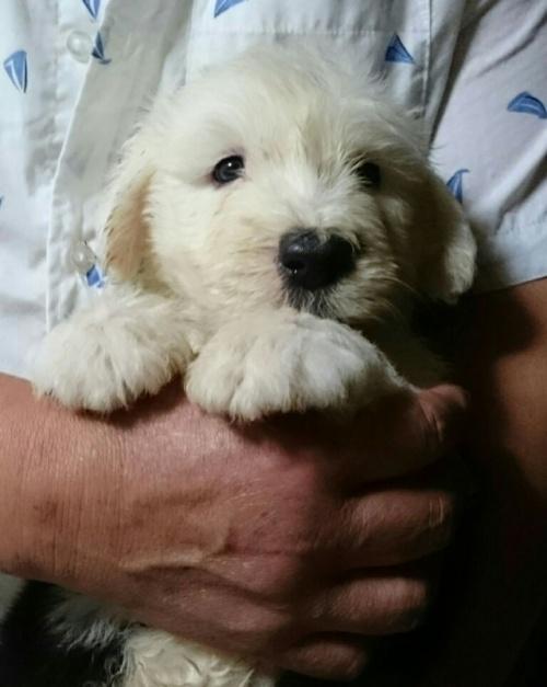オールドイングリッシュシープドッグの子犬(ID:1253911038)の2枚目の写真/更新日:2017-09-21