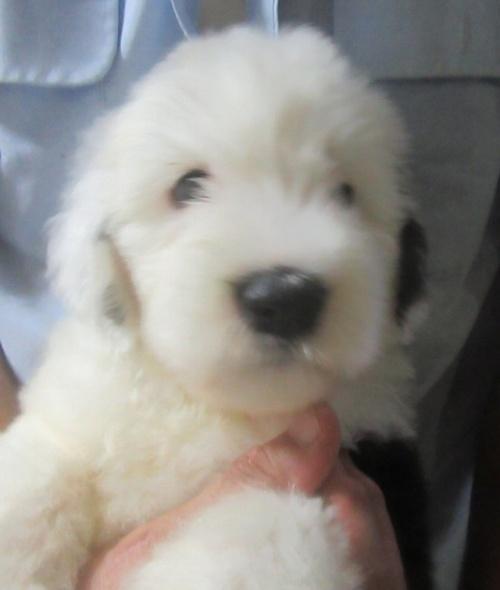 オールドイングリッシュシープドッグの子犬(ID:1253911039)の3枚目の写真/更新日:2017-09-21