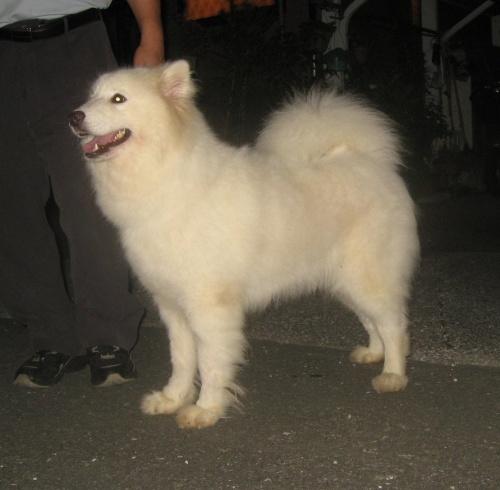 サモエドの子犬(ID:1253911040)の2枚目の写真/更新日:2018-02-24