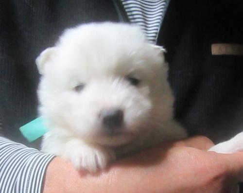 サモエドの子犬(ID:1253911041)の1枚目の写真/更新日:2018-03-11