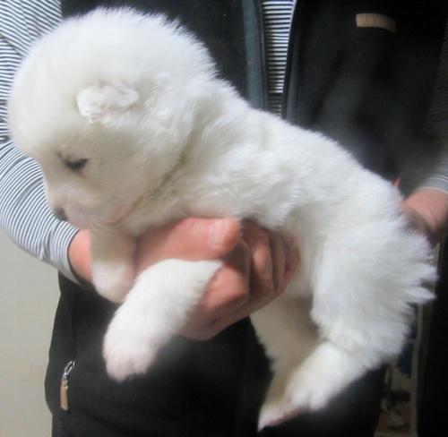サモエドの子犬(ID:1253911041)の2枚目の写真/更新日:2018-03-11