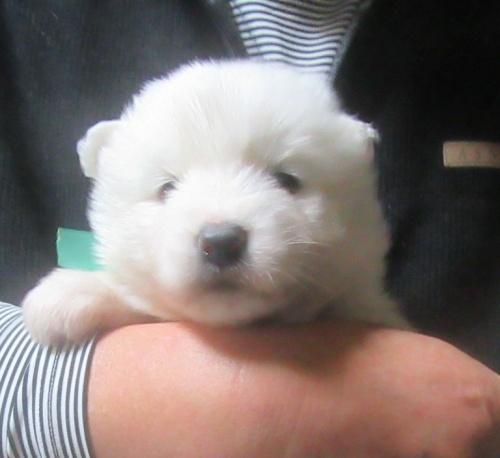 サモエドの子犬(ID:1253911041)の3枚目の写真/更新日:2018-03-11