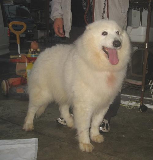 サモエドの子犬(ID:1253911041)の6枚目の写真/更新日:2018-03-11
