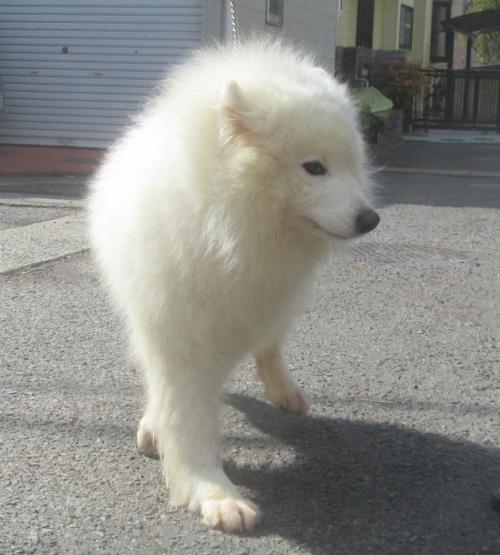 サモエドの子犬(ID:1253911041)の7枚目の写真/更新日:2018-03-11