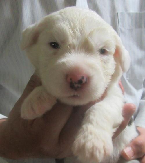 オールドイングリッシュシープドッグの子犬(ID:1253911042)の1枚目の写真/更新日:2018-05-07
