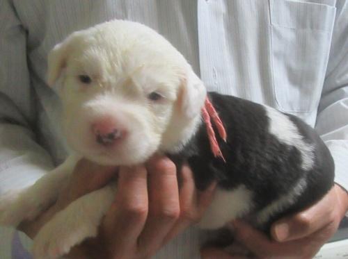 オールドイングリッシュシープドッグの子犬(ID:1253911042)の2枚目の写真/更新日:2018-05-07