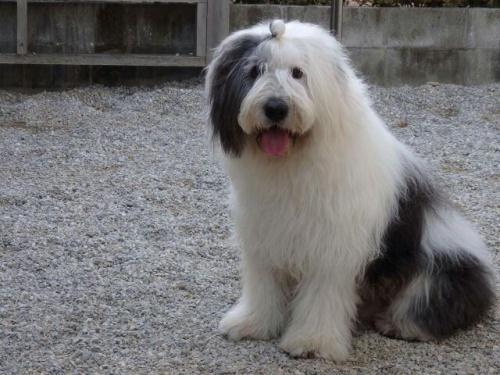 オールドイングリッシュシープドッグの子犬(ID:1253911042)の4枚目の写真/更新日:2018-05-10