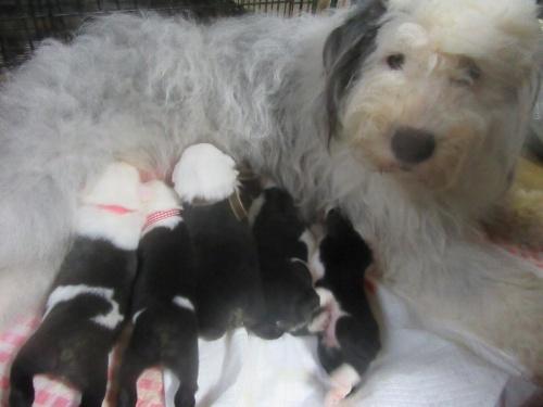 オールドイングリッシュシープドッグの子犬(ID:1253911042)の6枚目の写真/更新日:2018-05-07