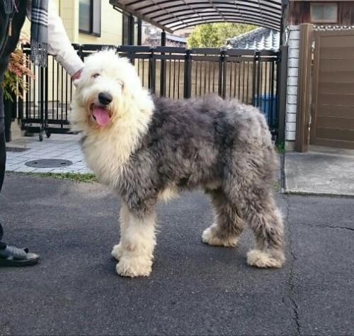 オールドイングリッシュシープドッグの子犬(ID:1253911042)の8枚目の写真/更新日:2018-05-07