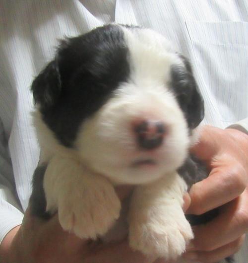 オールドイングリッシュシープドッグの子犬(ID:1253911043)の1枚目の写真/更新日:2018-05-08